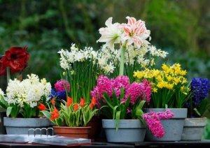 Домашние луковичные цветы фото и название