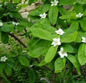 Цветки и листья мушмулы