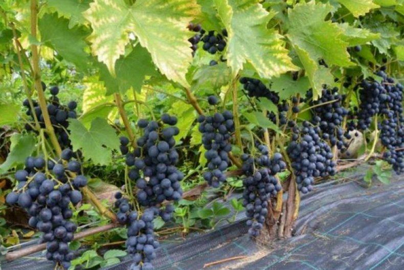 мускатный, сорт, виноград, описание