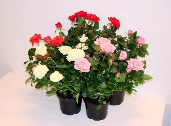 Розы в горшке: правила ухода в домашних условиях