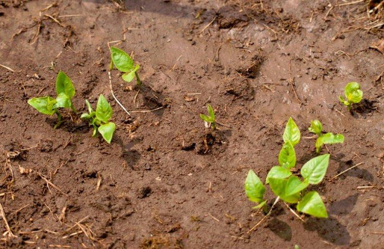 Секреты выращивания кабачков на участке