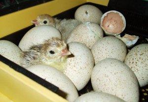 инкубация, индюшиных, яйцо, домашний, индюшат инкубаторе