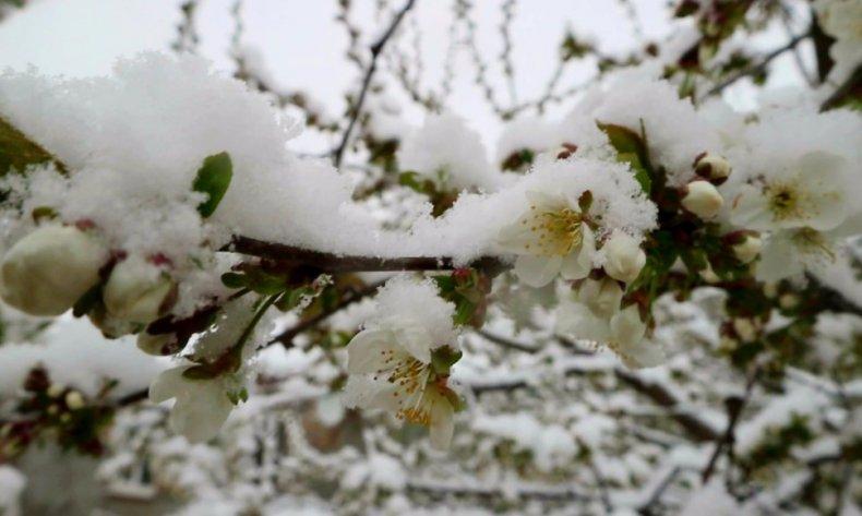 Зимостойкость вишни