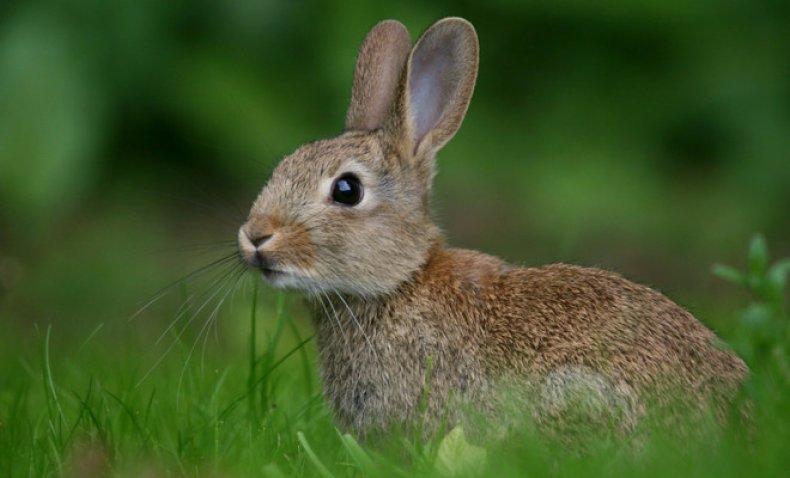 Едят ли кролики лопухи?