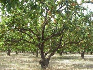 обрезка, абрикос, абрикосового дерева, омолаживающую обрезку