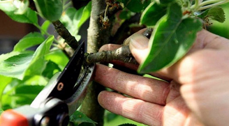 обрезка, груша, весна, грушу весною, садовым варом, срезать грушу