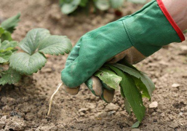 Как обработать теплицу из поликарбоната после зимы весной от болезней и вредителей? Чем обработать и удобрить землю в теплице весной перед посадкой огурцов, рассады?