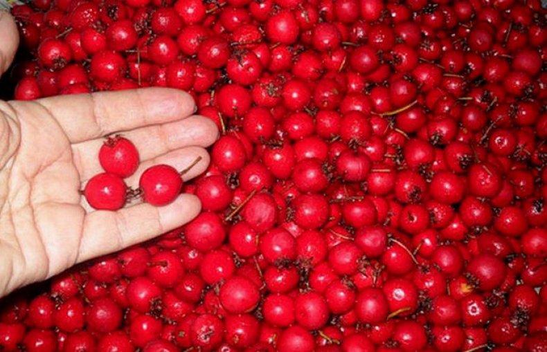 Особенности выращивания боярышника