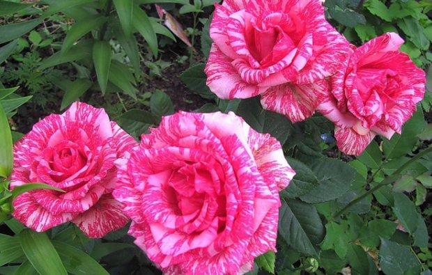 пинк интуишн роза фото