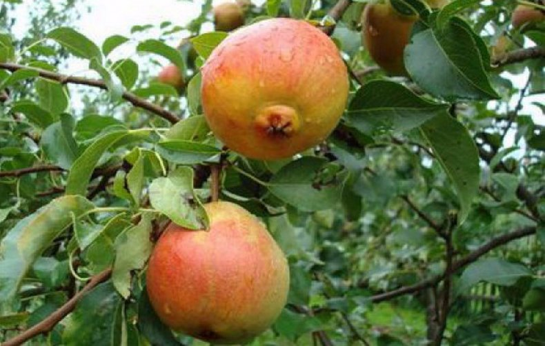 Советы по посадке и выращиванию груши сорта - Красуля