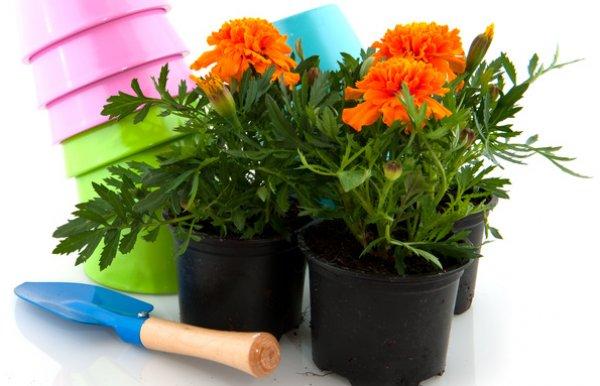 Выращивание на клумбе цветов бархатцев