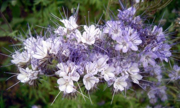Цветок фацелия фото описание и уход