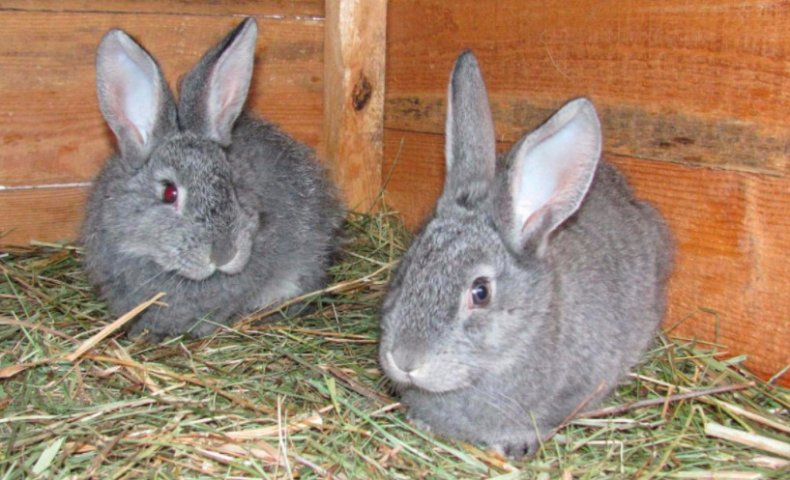 Кролики породы Советская шиншилла