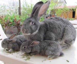 Кролики Советская шиншилла