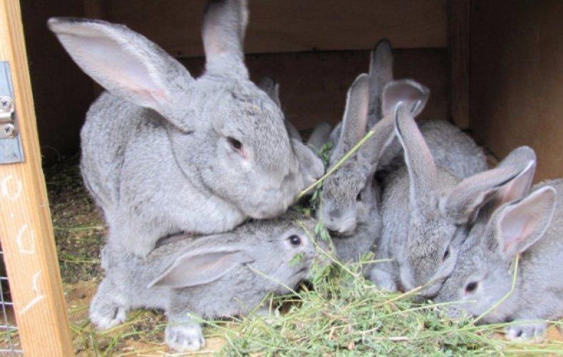 Кормление кроликов советская шиншилла