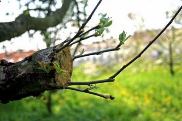 Айва: повышение зимостойкости культуры - Плодовые деревья - Смолдача