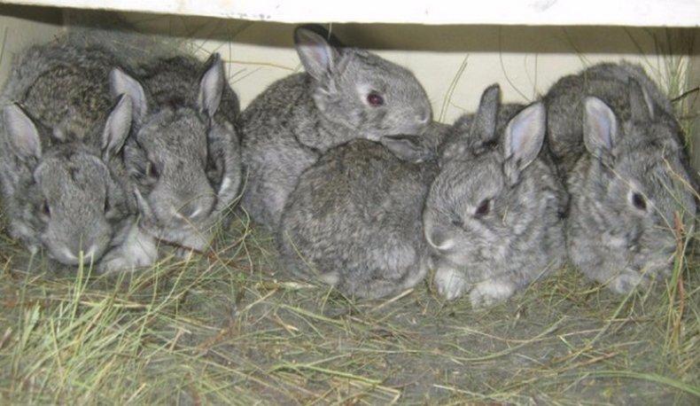 Крольчата Советской шиншиллы