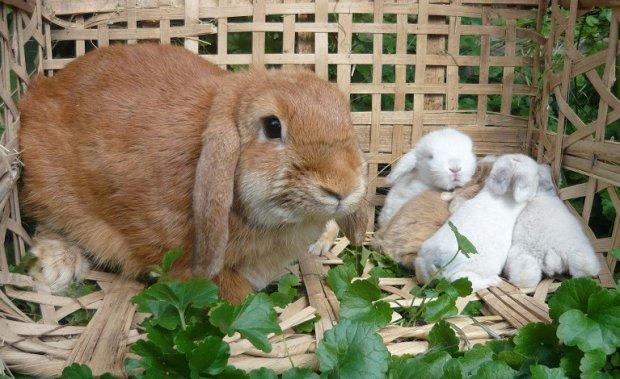 Разведение уход за кроликами в домашних условиях 96