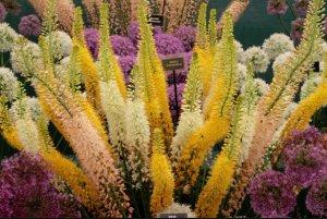цветок, эремурус, ширяш, посадка