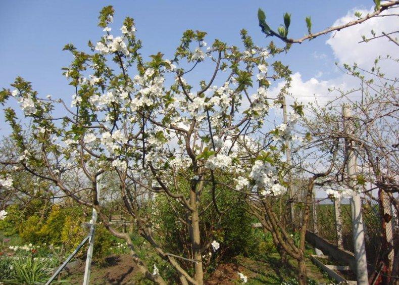 Цветение чудо-вишни