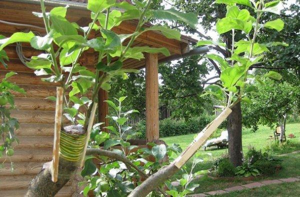Весенняя окулировка плодовых деревьев