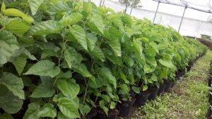 Шелковица выращивание и уход в средней полосе