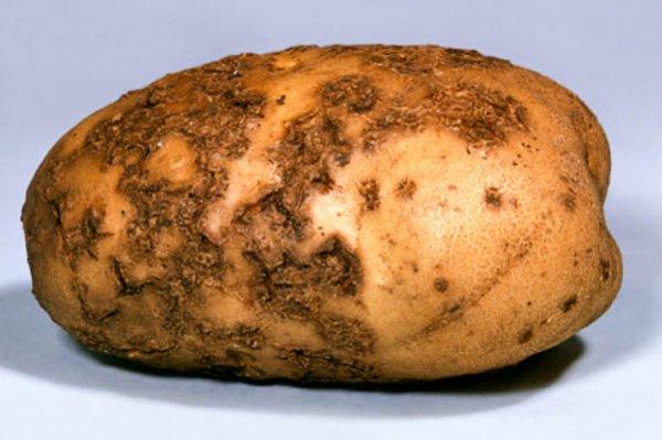Как бороться с паршой картошки