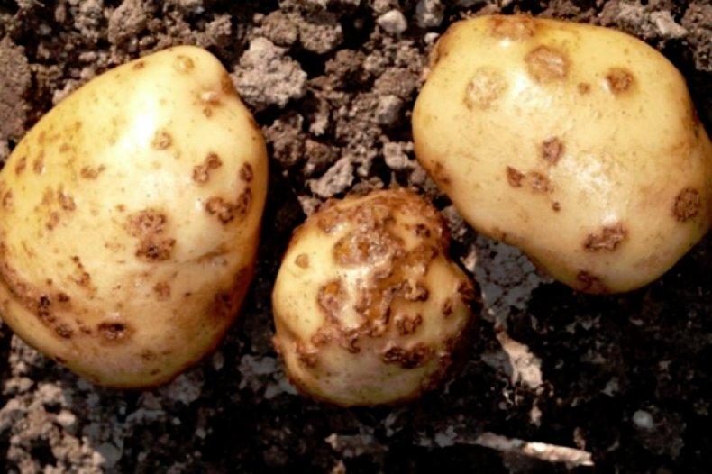 Gardening, Как избавиться от парши на картофеле