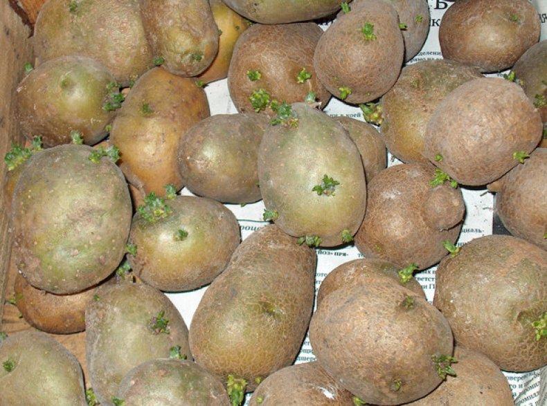 Пророщеный картофель