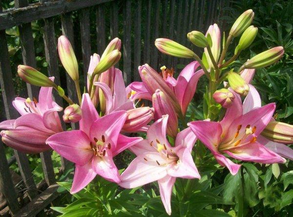 Выбираем лучшее время для пересадки лилий