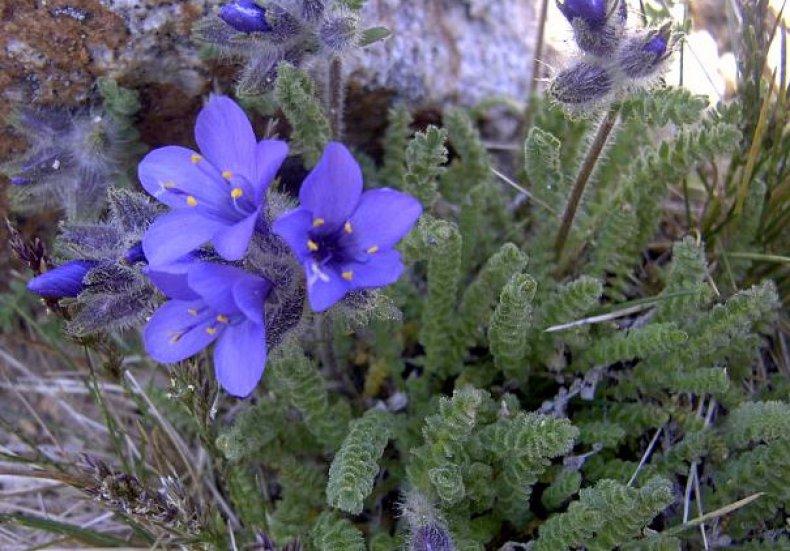 синюха, голубой, фото, описание, данного вида