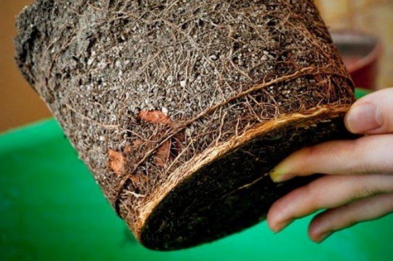 Араукария комнатная как ухаживать за елочкой в домашних условиях