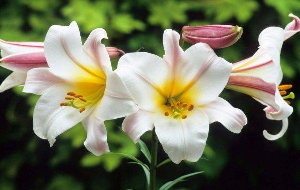 Почему не цветут лилии садовые