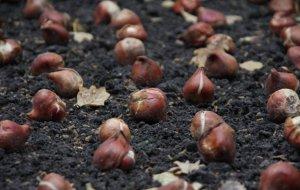 Высадка тюльпанов осенью сроки