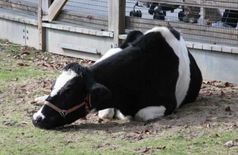 пастереллез, рогатый, скот, симтомы