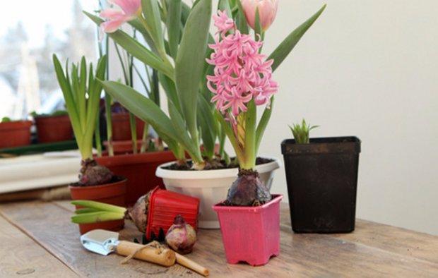 Гиацинт выращивание и уход в домашних условиях