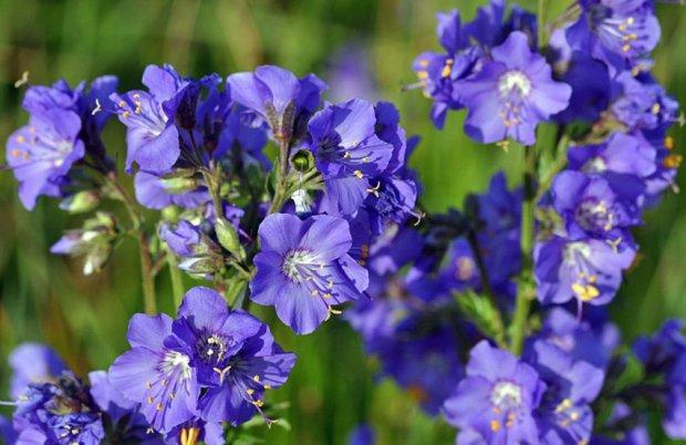 Синюха голубая: рецепты, лечебные свойства и противопоказания