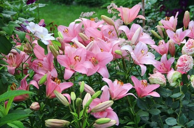 Разновидности лилий садовых фото с названиями