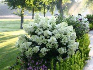 Болезни листьев и корней гортензии, как вылечить растение