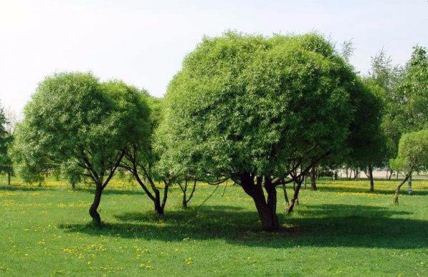 Размножение Плакучей Ивы Черенками