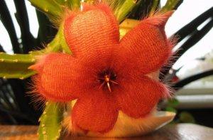 стапелия, уход, домашний, взрослых растений, держать температуру, держать температуру уровне