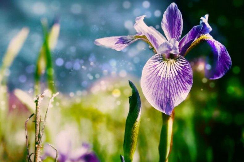 цветок, петушок, гребешок, ирис