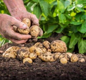 Чем лучше всего удобрять картофель