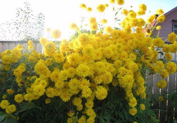 Цветы золотые шары посадка и уход