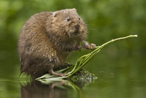 водяная крыса фото и описание