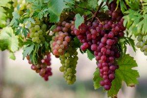 уход, виноград, весна, «Ридомил Голд»