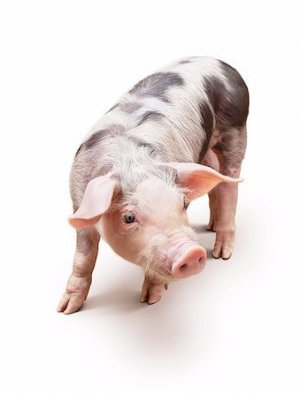 Все самое важное о разведении свиней породы пьетрен