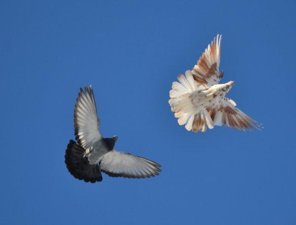 Голуби и люди. Разные аспекты взаимоотношений. Часть 4. Вред от городских голубей и как с ним бороться