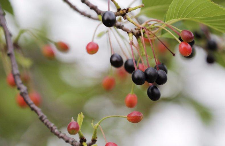 Плоды сакуры