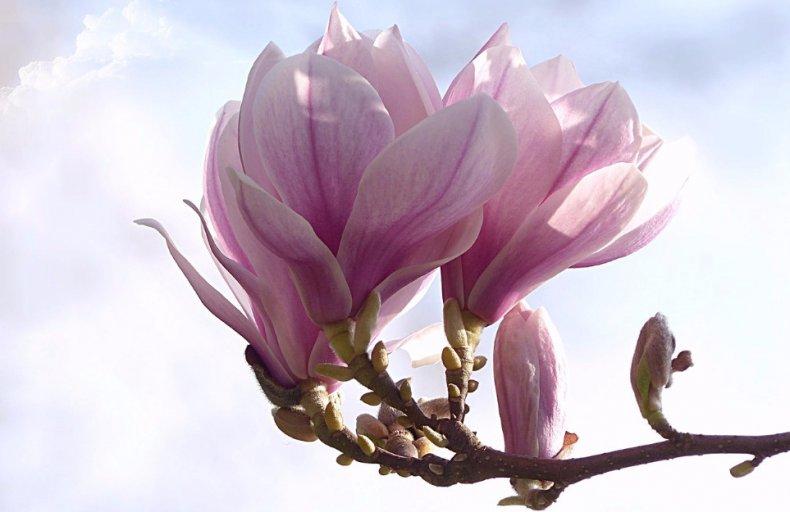 Магнолия цветение